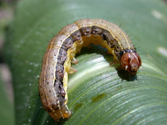 how to kill armyworms in pasture