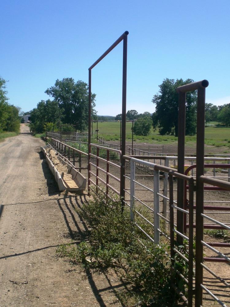 Ask A Farmer: Does feeding corn harm cattle? (2/6)