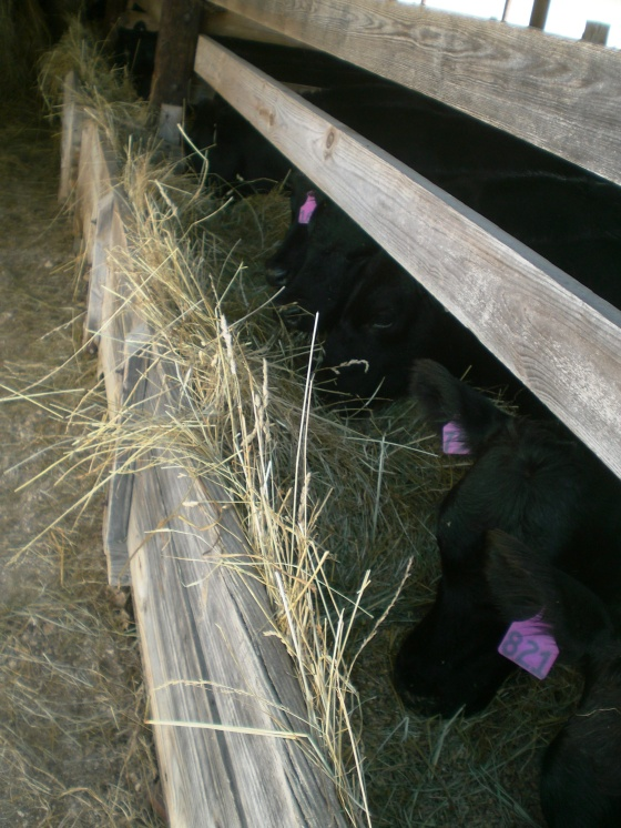 Content calves eating at the end of the day