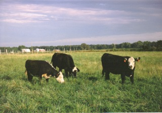Because it's part of my history. This is where it all started: Black Baldies at the family farm in IL.