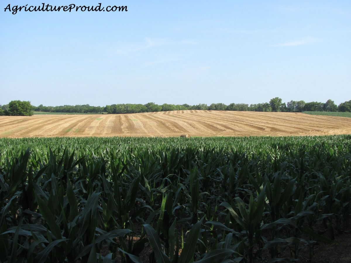 Growing corn and a freshly harvested wheat field.