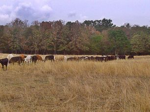 My dad has been feeding cattle hay for some time now. Nothing else for them to eat.