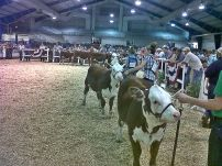 hereford cattle in line