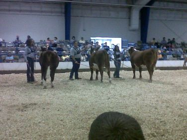 hereford cattle show