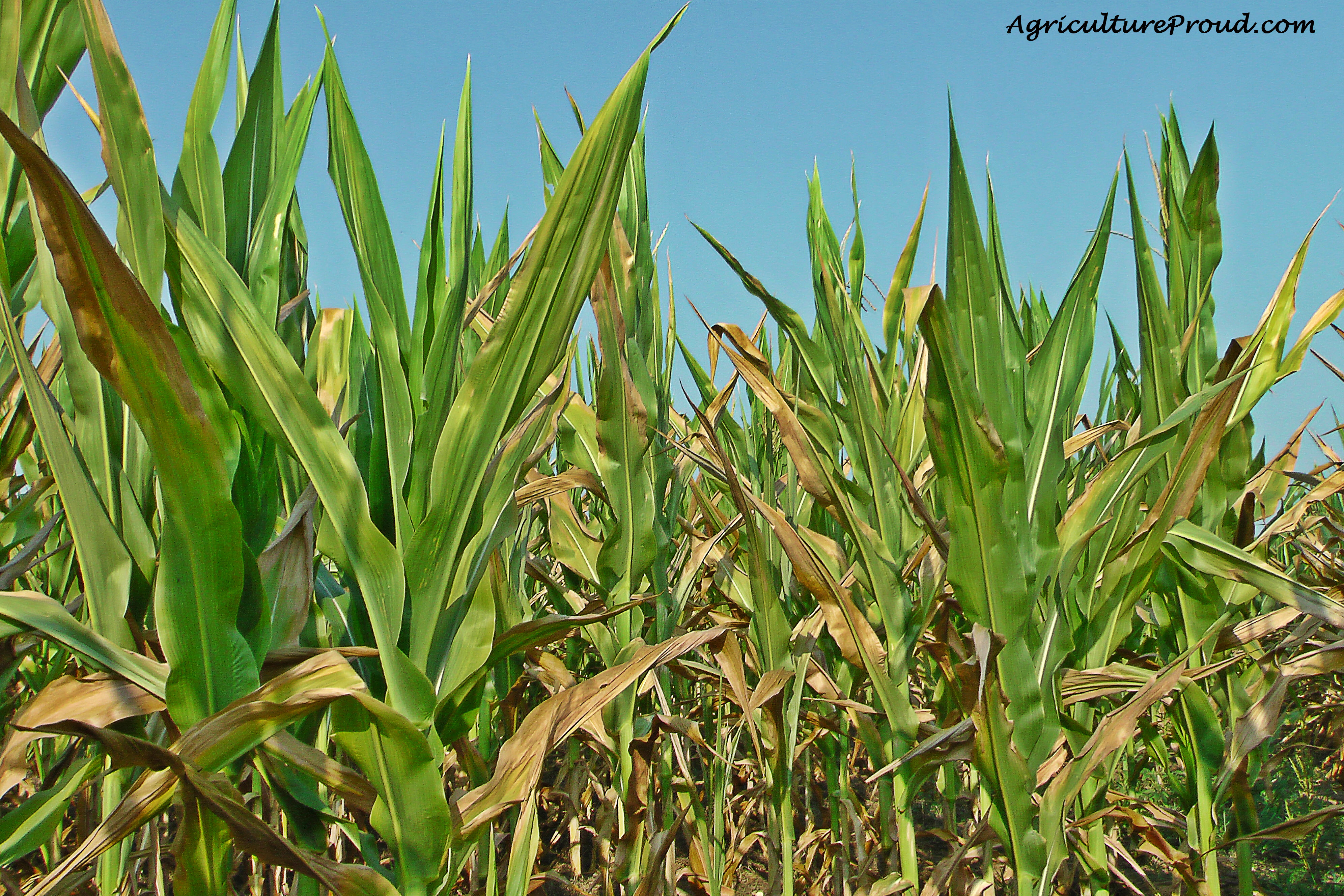 ask a farmer does feeding corn harm cattle u2013 agriculture proud
