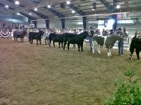 show steers in line up