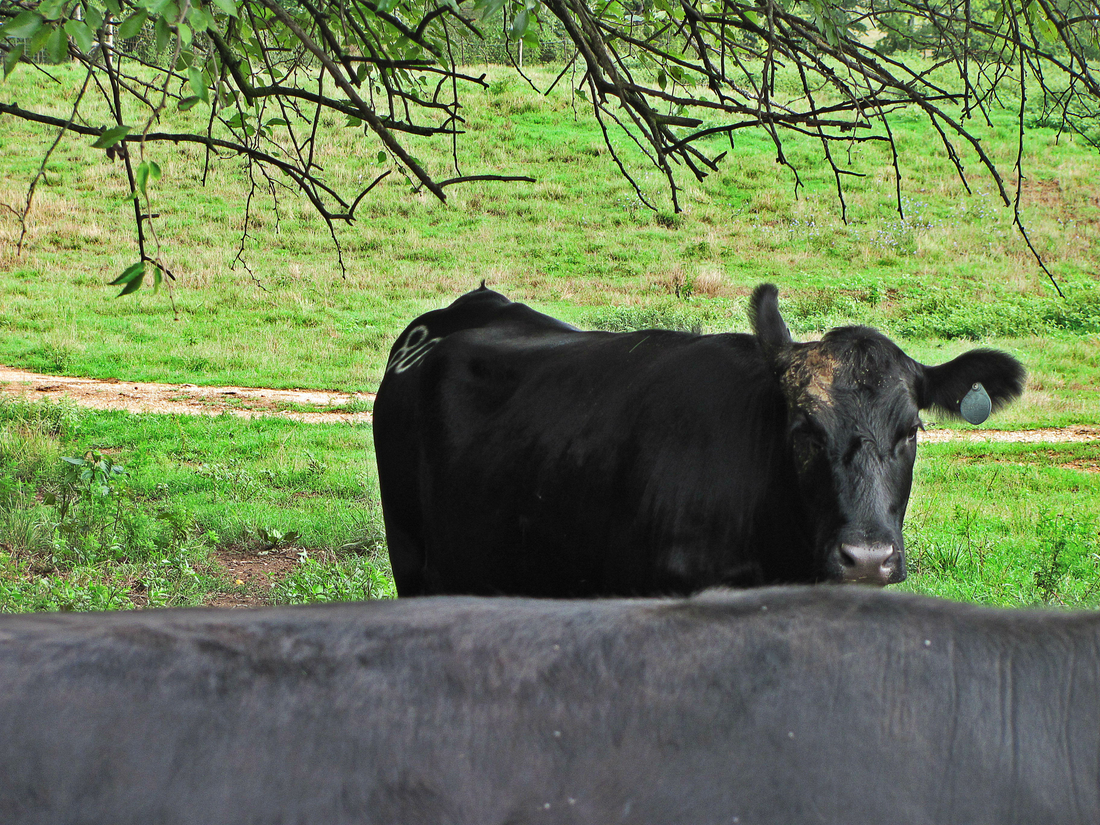 black cow in pasture