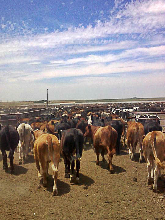 Cattle on the trail in the feedlot