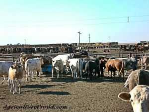 Texas cattle feedlot water CAFO environment