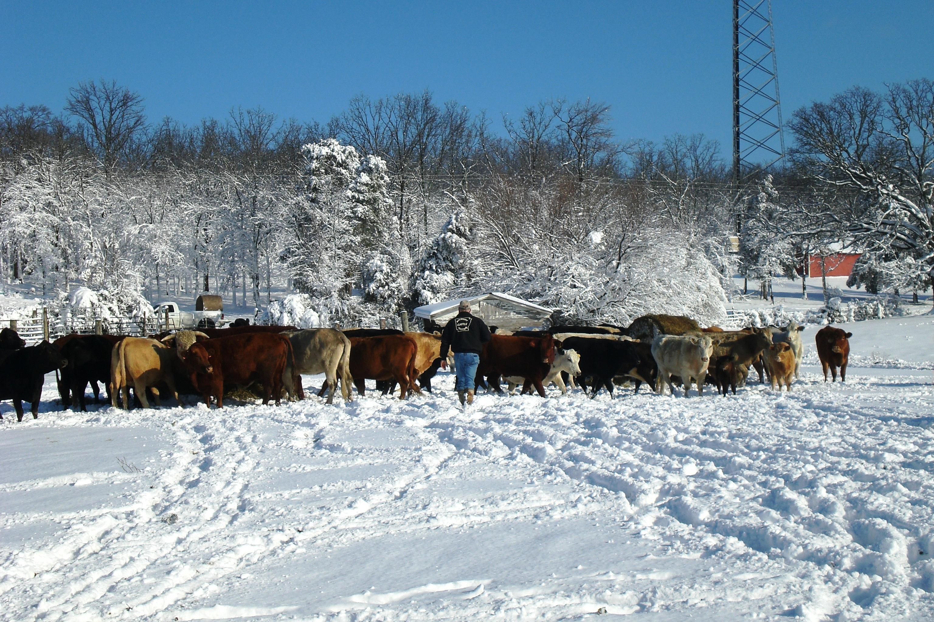Feeding Cows in ArkansasSnow