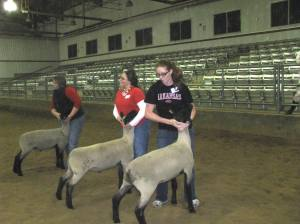 Students showing lambs in a club competition