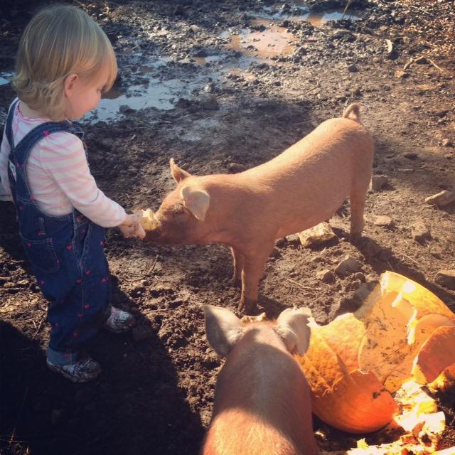Pigs eat pumpkins
