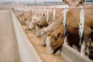 cattle feedlot beta agonist zilmax feed additive