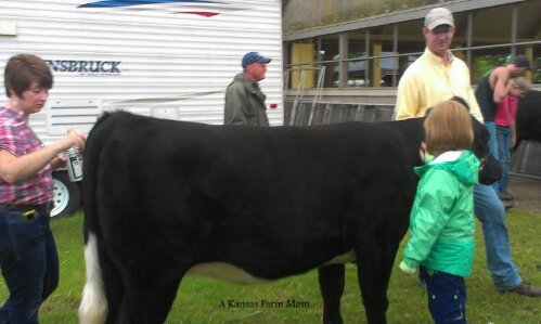 beef heifer show at county fair