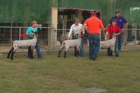 showing sheep at county fair