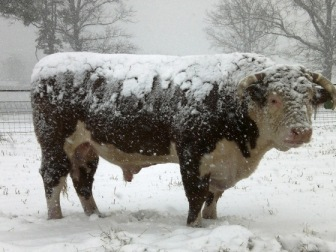 bull in the snow