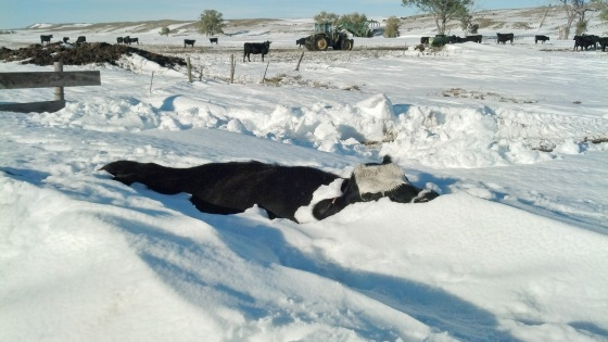 Immediately following the storm, ranchers in the area's hit hardest by the Oct., 2013 winter storm Atlas searched and were devastated to find a staggering number of animals had succumbed to the record breaking snow, wind and cold wrought by the storm.