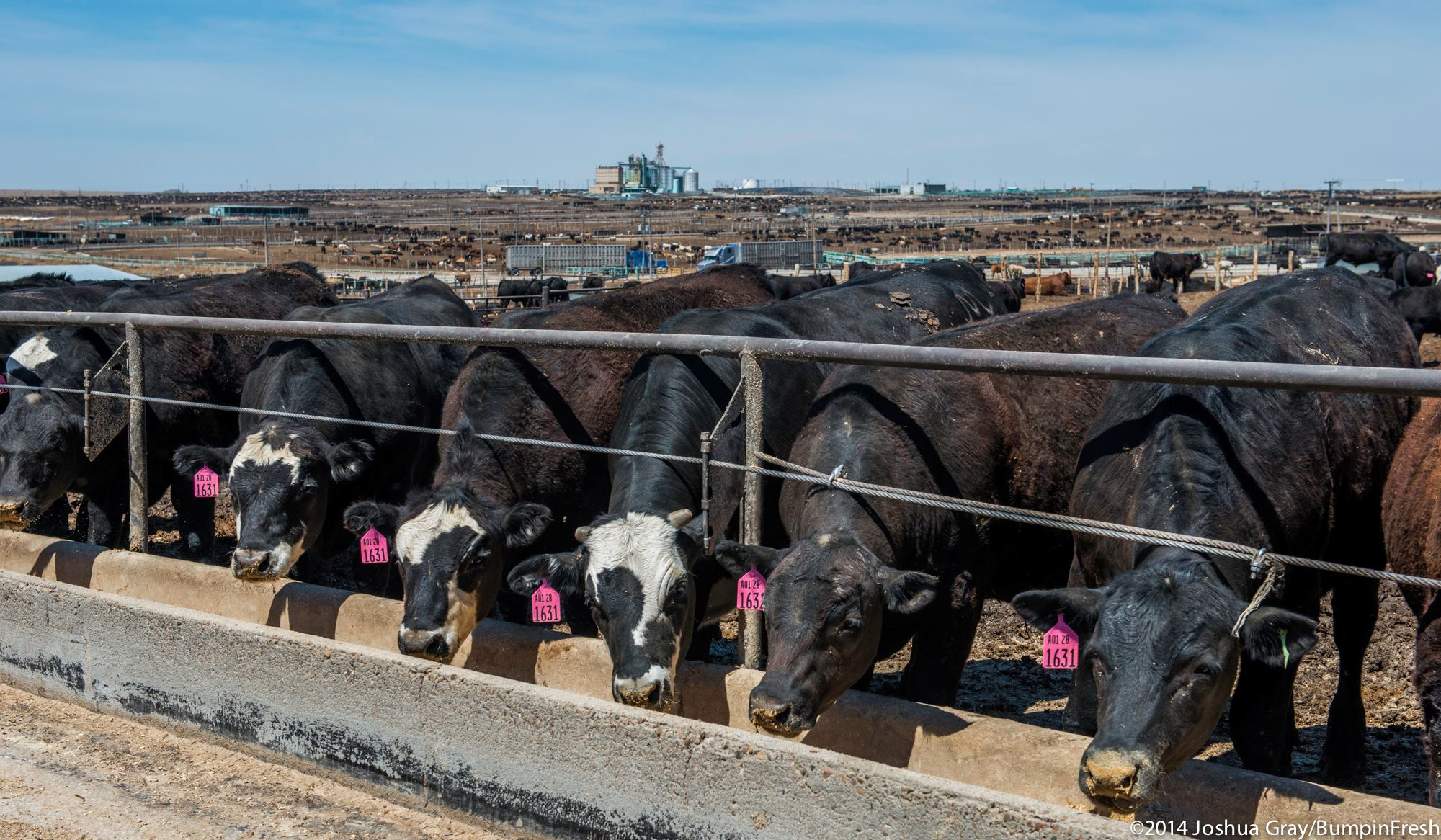 care of newly purchased feeder cattle Characteristics of cattle finishing systems cover choice grades of  purchased cattle are virtually scheduled for a  to the seasoned cattle feeder,.
