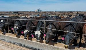 hitch cattle feeders guymon oklahoma
