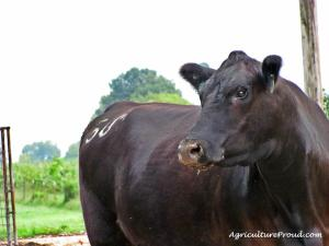 Angus Cow Breed Tennessee