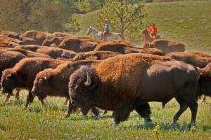Image via National Bison Association